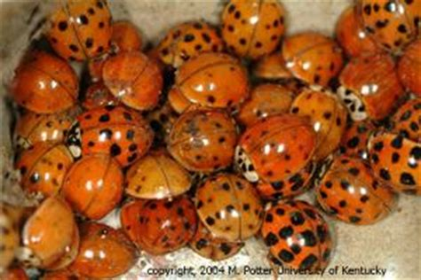 asian lady beetle infestation  structures entomology