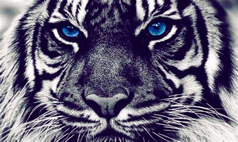 Blue Tiger 10 fact about blue maltese tigers you didn t 10 zap