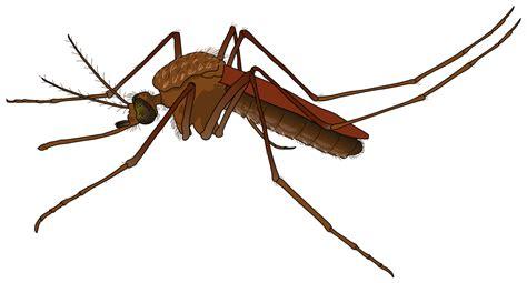 file mosquito female svg wikimedia commons