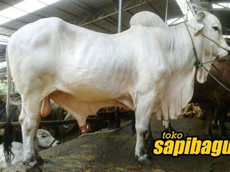 Bibit Sapi Peranakan Ongole sapi peranakan ongole salah satu primadona sapibagus