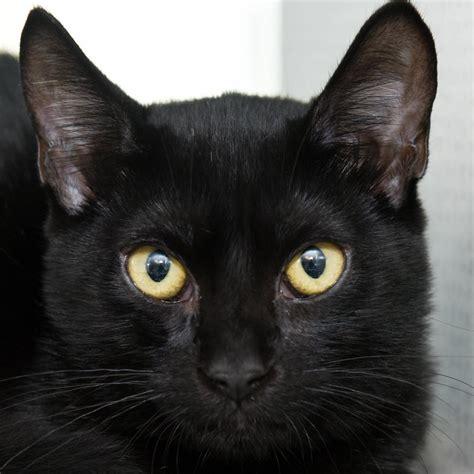 black xat it s black cat appreciation day aug 17 san antonio