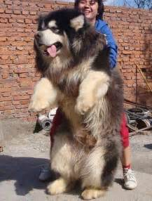 Amazon Red Rugs Gallery For Gt Giant Fluffy Wolf Dog
