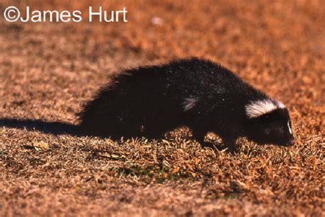 striped skunk state  tennessee wildlife resources agency