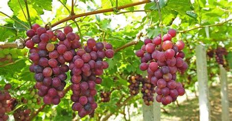 variet 224 uva da tavola uva uva da tavola variet 224
