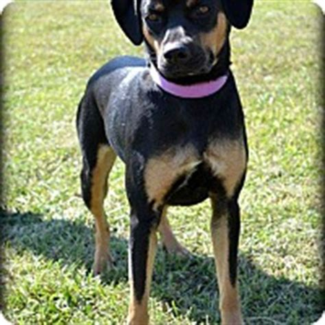 rottweiler rescue ohio cincinnati oh rottweiler beagle mix meet raisin a for adoption