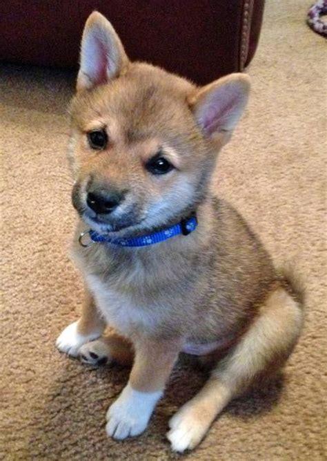 shiba inu puppies for sale oregon akita husky mix for sale adoption oregon breeds picture