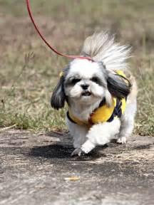 can a shih tzu walk 3 pet editor what to do when walks turn to shih tzus