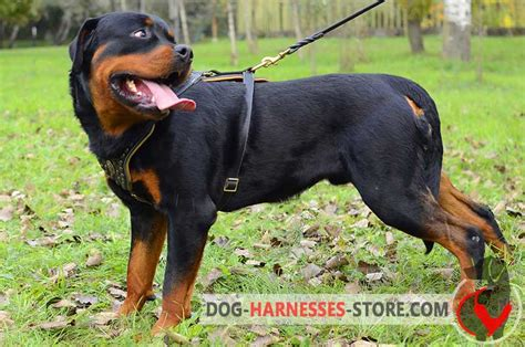 how should i walk my rottweiler studded walking leather rottweiler harness h11 1092 royal leather harness