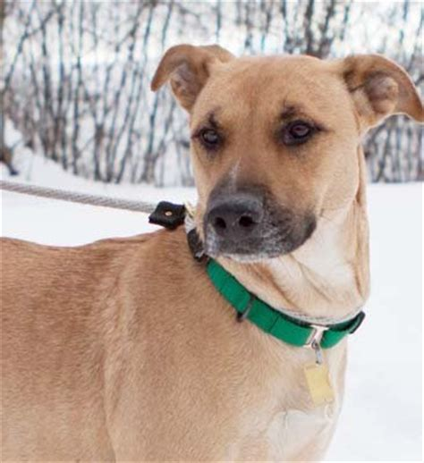 boxer shepherd mix puppy shepherd boxer mix at rescue in is looking for a home cleveland