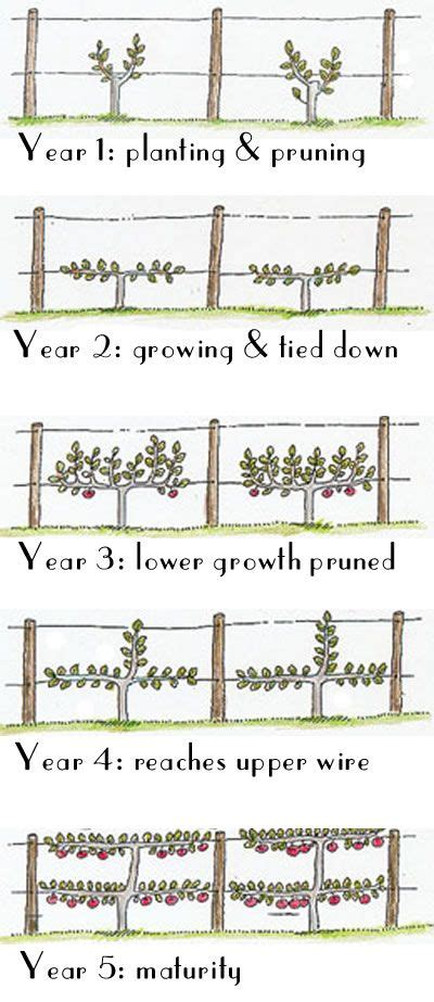 deck the halls how to espalier fruit trees