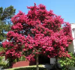 crepe myrtle colors crepe myrtle trees