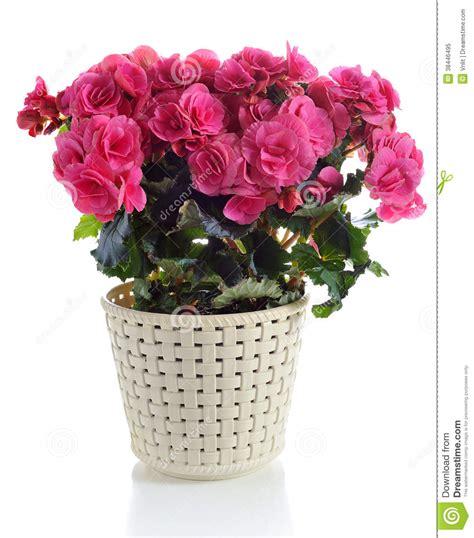 begonie in vaso begonia in vaso fotografia stock libera da diritti