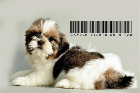 breed shih tzu price in india shih tzu puppies for sale k kamal 1 14432 dogs for sale price of puppies