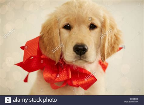 puppy bows golden retriever puppy with bow stock photo royalty free image 79652003 alamy
