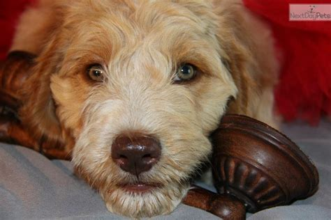 goldendoodle puppies dallas goldendoodle puppy for sale near dallas fort worth 13ca2fc3 3b61