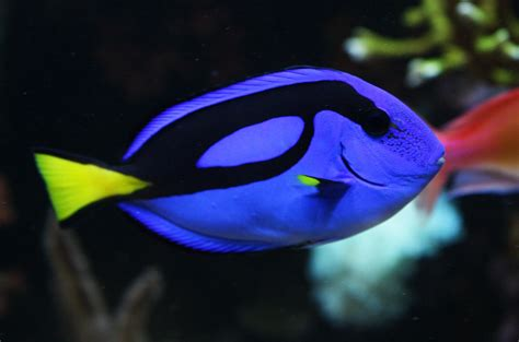 what color are fish blue tang fish wallpapers animals wiki