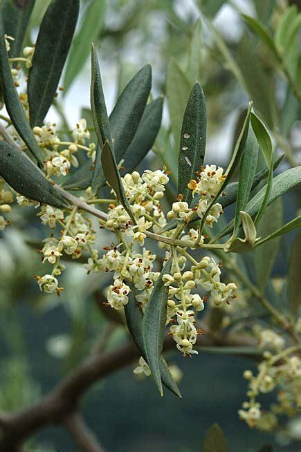 fiori di olivo boccioli e fiori di ulivo