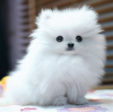 cutest pomeranians 12 reasons why you should never own pomeranians