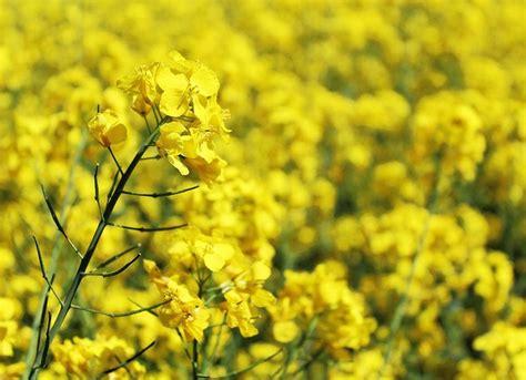 olio di colza alimentare olio di colza propriet 224 fa alla salute