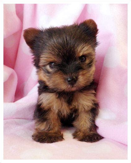 teacup yorkies for sell teacup yorkies for sale in south florida from teacupspuppies