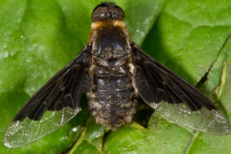 Flies In The Backyard by Harvey S Spiders N Stuff Bee Fly Hemipenthes Morioides