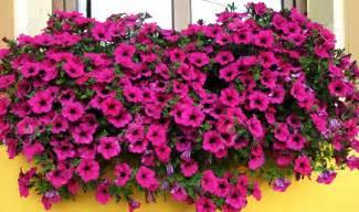 fiori surfinia la surfinia giardinaggio facile