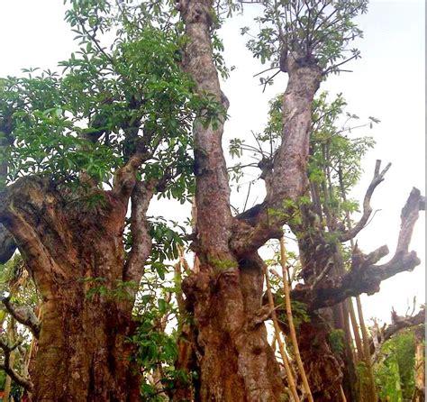 Jual Bibit Coklat Jember tani sejahtera nursery jual pohon pule di jember