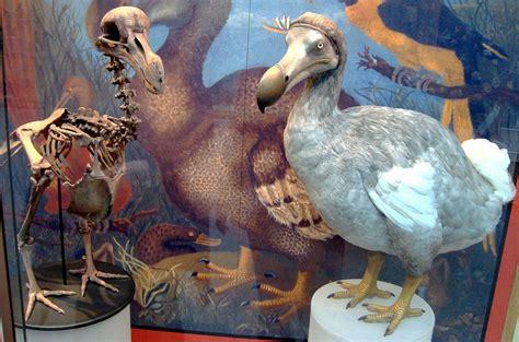 the dodo dodo