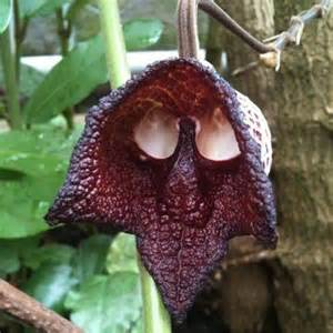 Monkey Face Orchid Weirdest Looking Flower Ever Page 3 Gardening Forums