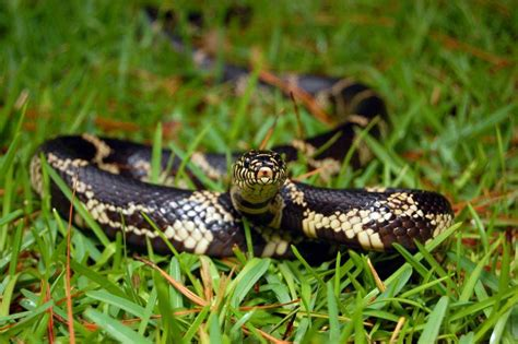 Garden Snake Ny Garden Snake Lower Classifications 28 Images All 17