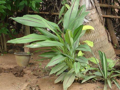 dams sedi c 243 mo cultivar c 250 rcuma en tu casa plantasparacurar