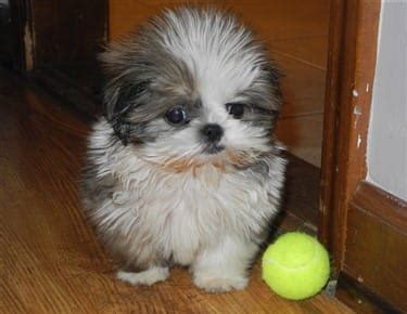cost of shih tzu puppies expected cost of a shih tzu puppy