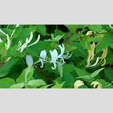 Blue Yarrow Flower | 1920 x 1080 jpeg 688kB