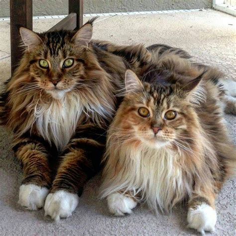 Maine Coon Cat ~   sweet furry friends   Pinterest