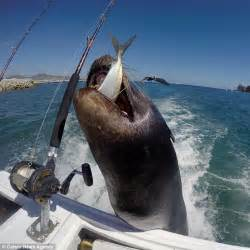 mexican fishing boat accident sea lion in los cabos mexico is fed a fish after hitching