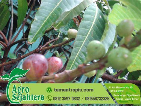 Jual Bibit Pohon Buah Tin Indonesia jual bibit buah tin pekanbaru