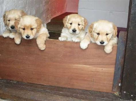 golden retrievers brisbane golden retriever puppies for sale adoption from queensland brisbane metro adpost