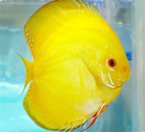 Gamis Thailand Syari Yellow 17 best ideas about discus on discus fish