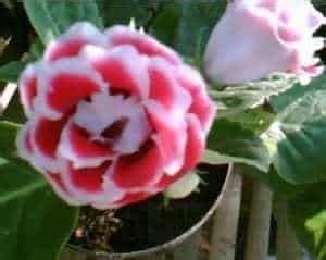 Pot Tray 50 Tempat Semai jual bibit unggul tanaman gloxinia merah bibit