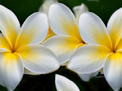 plumeria yellow white flowers wallpaper hd wallpaperscom