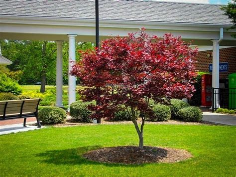 maple tree width bloodgood japanese maple for sale the tree center