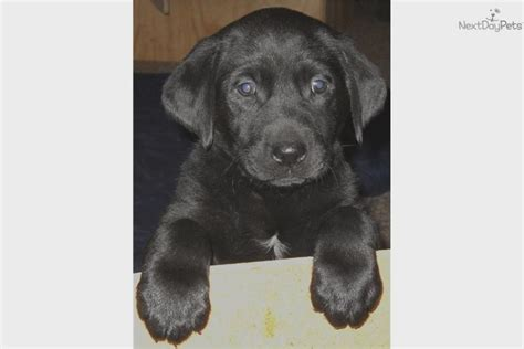 labrador puppies for sale in iowa how lab puppies for sale in iowa is going to change your