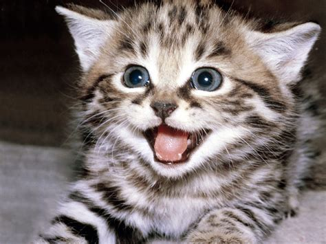 Smiling Cat proxecto gato cats wallpapers by bighdwallpapers