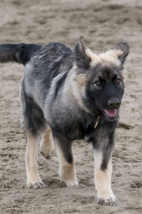 dire wolf puppies for sale american alsatian information breeds picture