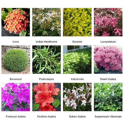 Common Shrubs Yard Space Pinterest Shrub Commercial Common Landscaping Plants