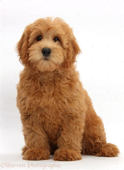 goldendoodle puppies new goldendoodle puppy photo wp39335