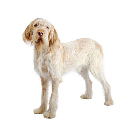 italian setter dog irish red and white setter purina 174