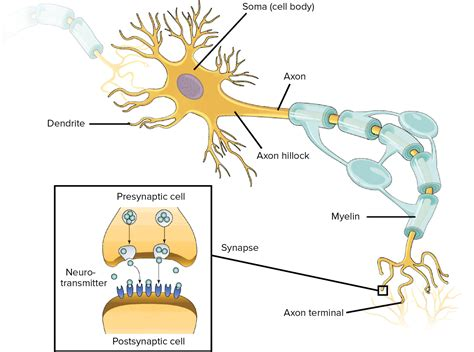 neuron diagram and functions the nervous system lesson 0398 tqa explorer