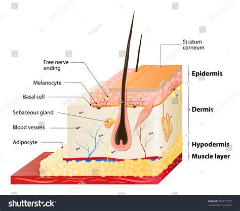 human skin anatomy stock vector more images of anatomy 645164882 istock layers human skin epidermis layer stock vector 266575709