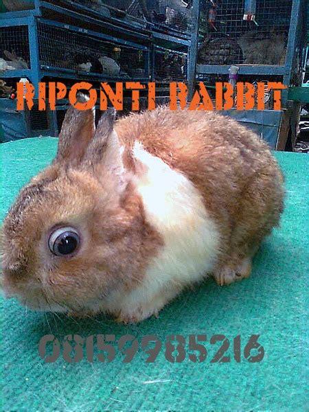 perkelincian kelinci rabbit rabbitry peternakan animal husbandry